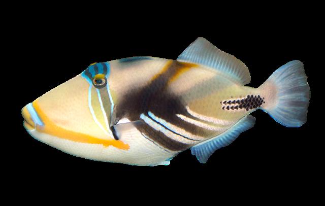 Blackbar triggerfish