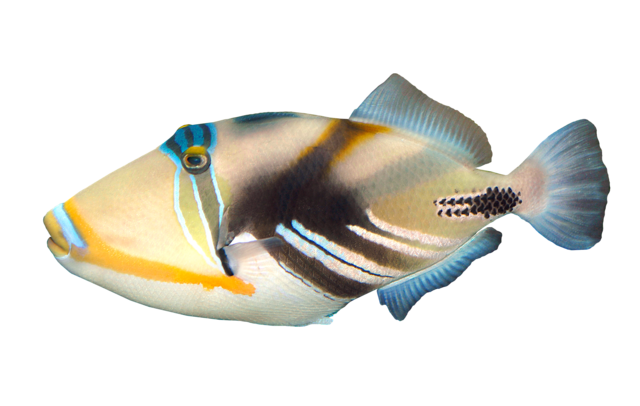 Picassofisk