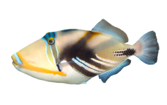 Blackbar triggerfish
