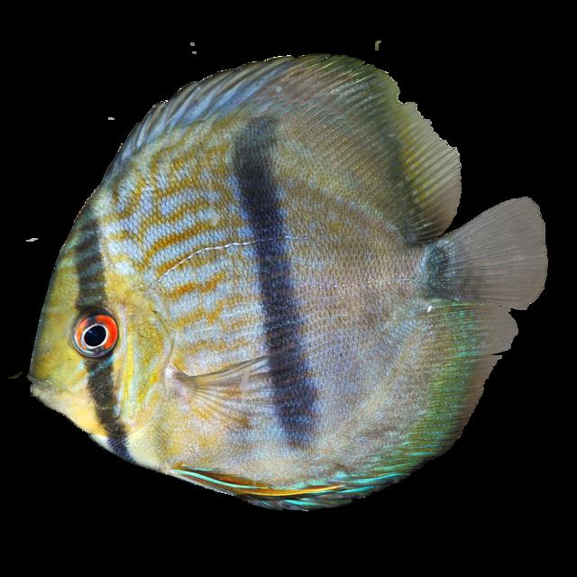 Ninin Heckel-diskosfisk