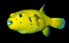 Sortplettet kuglefisk