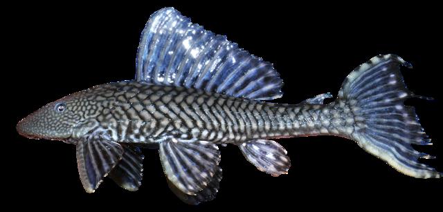 Anisits sugmal