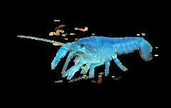 Florida crayfish