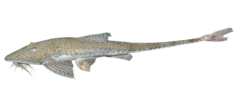 Giant Whiptail Catfish