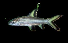 Bala Shark