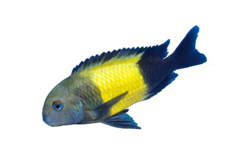 Ikola Blunt-Headed Cichlid