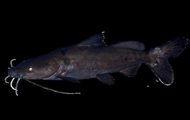 Kampango catfish