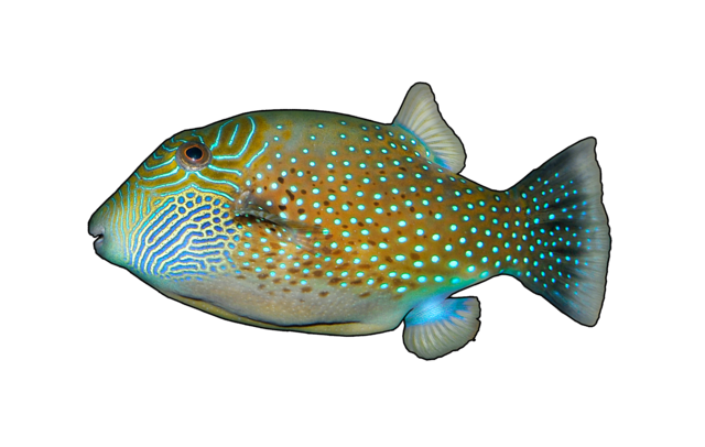 Ambon kuglefisk