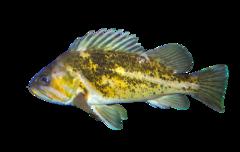 Kobberklippefisk