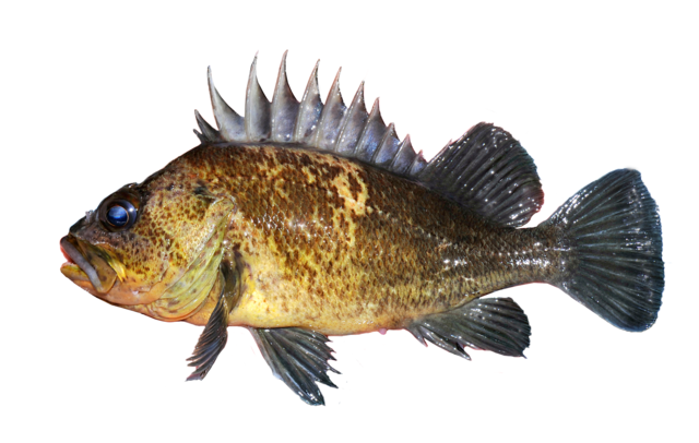 Gåspenna-kungsfisk