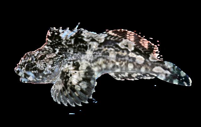 Krabbeædende ulk