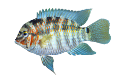 Xingú Krobia-cichlid
