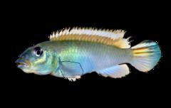 Blue Congo cichlid