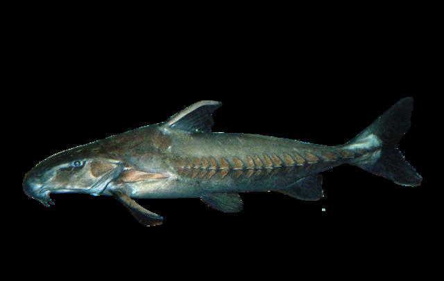 Ripsaw catfish
