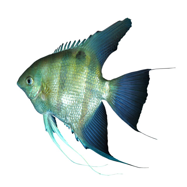 Leopold´s angelfish