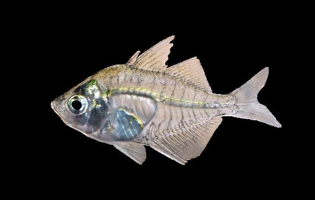 Indisk glas fisk
