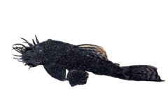 Common Bristlenose Catfish