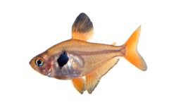 Red phantom tetra