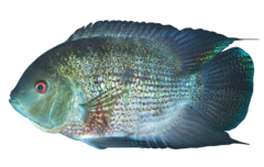 Equator hero cichlid