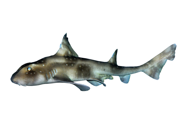 White-spotted bullhead shark