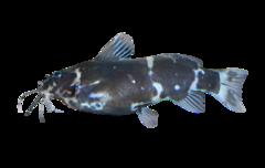 Nigerian Bumblebee Catfish