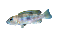 Boulengers sneglehuscichlide