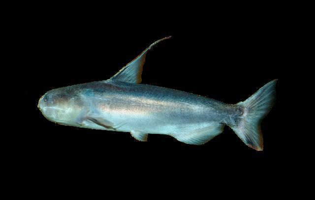 Baby Whale Catfish