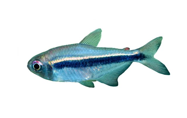 Imperial Tetra