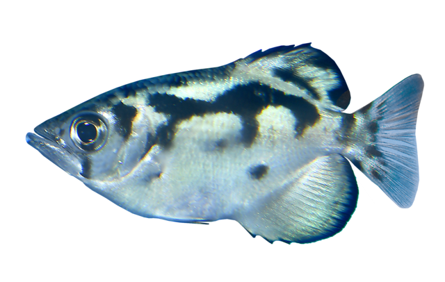 Burma Sprutfisk
