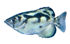 Myanmar-skyttefisk