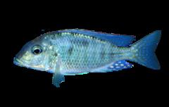 Blå Malawi-sandspiser