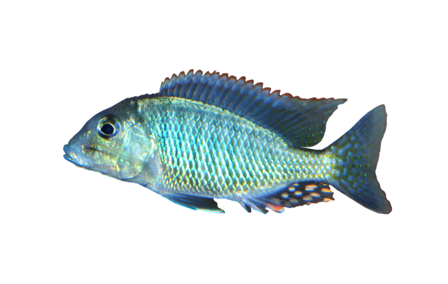 White Striped malawi sand eater