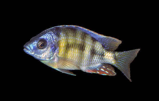 Black Spotted Malawi Cichlid