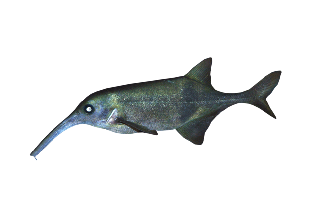 Longnosed elephantfish