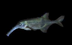 Congo-snabelfisk