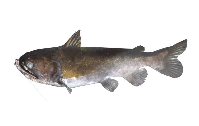 Gulper Catfish