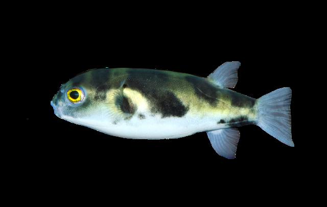 Amazon-kuglefisk