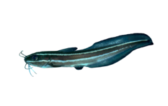 Striped eel catfish