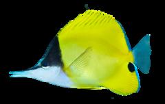 Amerikansk näbbfisk