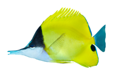 Gul pincetfisk