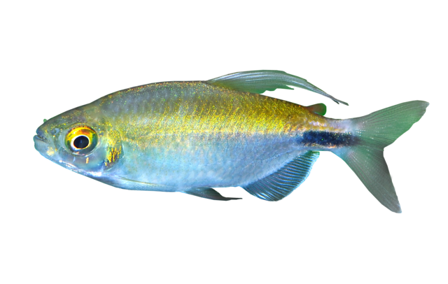 African long-finned tetra
