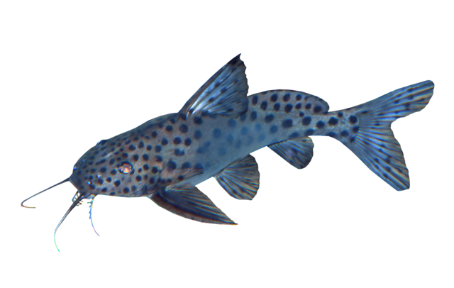 Spotted Giant Synodontis