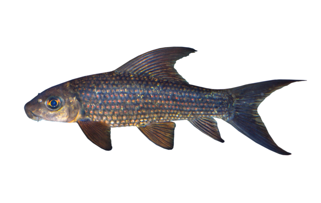 Red-spotted labeo