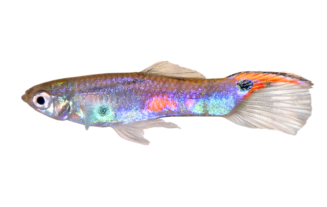 Colombian wild guppy