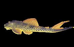 Rødfinnet hajsugemalle