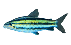 Yellow striped leporinus