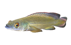 Red-finned Pike Cichlid
