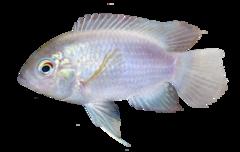 Ecuador Cichlid