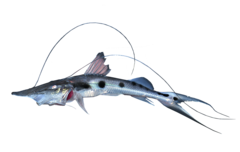 Sturgeon catfish