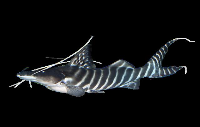 Tigerstriped catfish